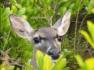 deer_in_mangroves