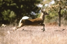 Deer_running