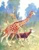 giraffe_and_Okapi