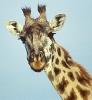 Giraffe_portrait