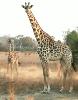 Giraffe_savanna