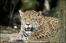Jaguar_5