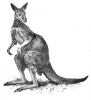 kangaroo_3