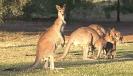 kangaroo_graemes