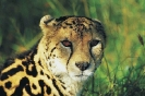 King_cheetah