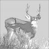mule_deer_2