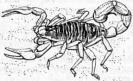 Scorpionidea