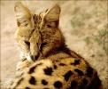 Serval_cat