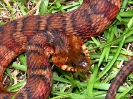 southern_water_snake