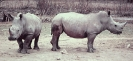 White_rhinoceros