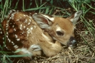 white_tailed_fawn