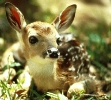 white_tailed_fawn_2
