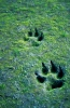 wolf_tracks