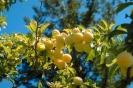 fruit foto_7