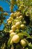 fruit foto_8