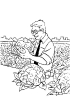 bloemkool-oogsten