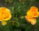 Bloemen_435